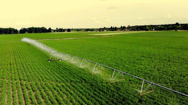 aero, top-ansicht, kartoffeln wachsen auf dem feld, bewässert durch eine spezielle bewässerung schwenk-sprinkler-system. es wässert grüne sträucher von kartoffeln in reihen auf dem acker gepflanzt. sommertag - bewässerungsanlage stock-videos und b-roll-filmmaterial