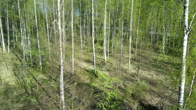 Aero view from drone on the birch wood in the summer sunny day video