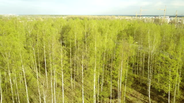 Aero view from drone on the birch wood in the summer sunny day, video