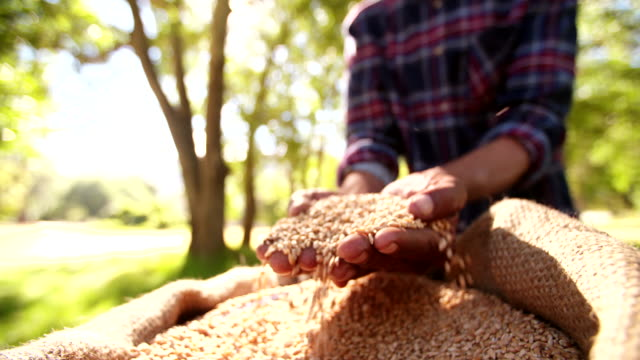 aFresh grains of wheat being held by farmer's hands video