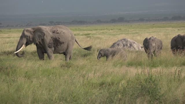 Africa. Kenya. Savannah. Elephants roam the savannah.