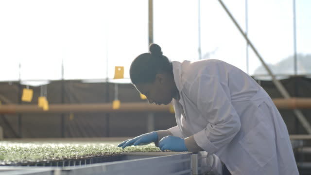 African Agronomist Inspecting Seedlings PAN of busy female African agronomist in lab coat and gloves inspecting seedlings growing in greenhouse hydroponics stock videos & royalty-free footage