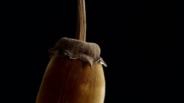 afrikanische baobab-frucht oder affenbrot - affenbrotbaum stock-videos und b-roll-filmmaterial