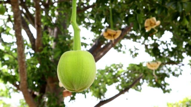 afrikanische baobab frucht oder affe brot - affenbrotbaum stock-videos und b-roll-filmmaterial