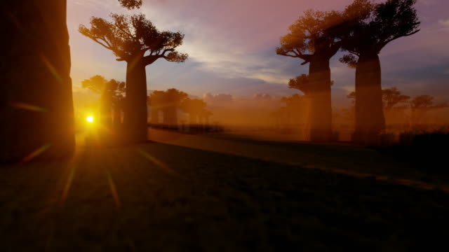 African baobab trees alley at sunset time African baobab trees alley at sunset time baobab tree stock videos & royalty-free footage