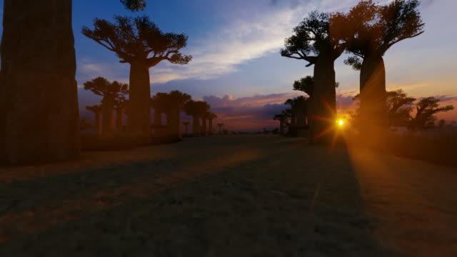 afrikanische baobab bäume avenue bei sonnenuntergang - affenbrotbaum stock-videos und b-roll-filmmaterial