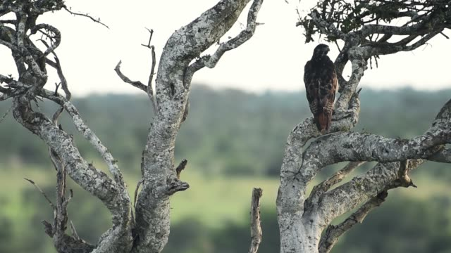 African bird of prey. A fish eagle sits in a tree in Kenya , Africa, ready to hunt and go hunting