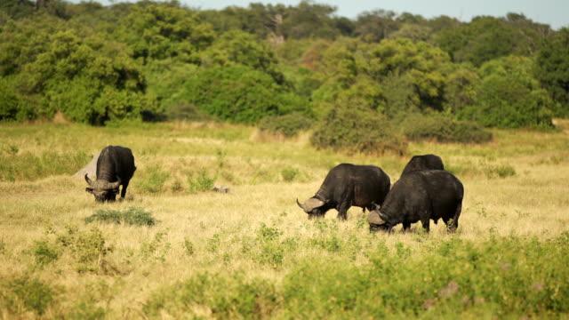 African buffalo video