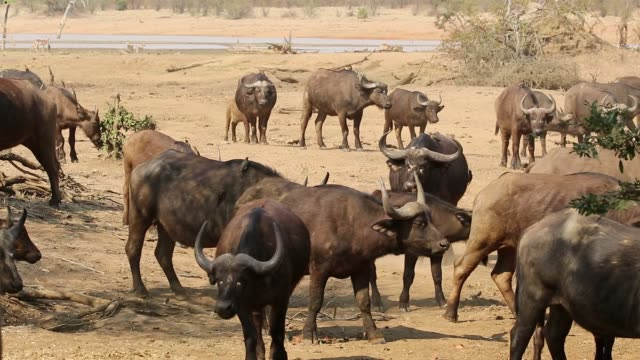 African buffaloes in natural habitat, Kruger National Park, South Africa