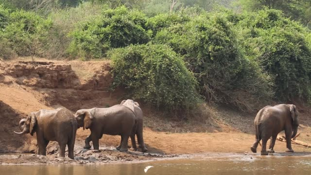 African bull elephants (Loxodonta africana) in a river, Kruger National Park, South Africa