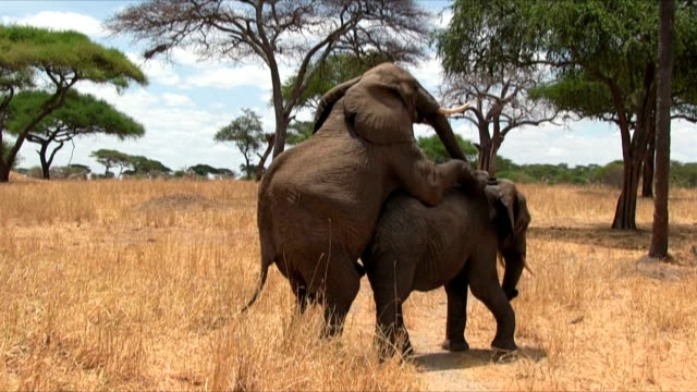 elefante africano bush copulating nel serengeti n.p. tanzania - animale femmina video stock e b–roll