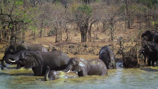 afrikansk savannelefant i kruger national park, sydafrika - djurfamilj bildbanksvideor och videomaterial från bakom kulisserna