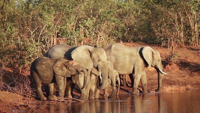 afrikansk buske elefant i kruger nationalpark, sydafrika - djurfamilj bildbanksvideor och videomaterial från bakom kulisserna