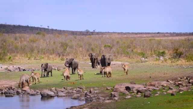 vidéos et rushes de éléphant africain de buisson dans le parc national de kruger, afrique du sud - plan d'eau