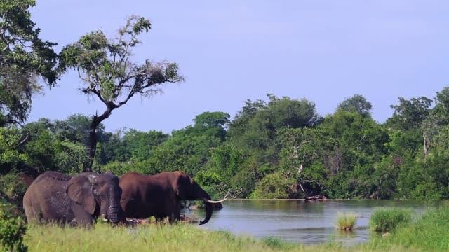 African bush elephant in Kruger National park, South Africa video