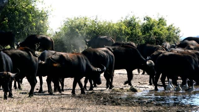 African Cape Buffalo, Chobe river, Botswana safari wildlife