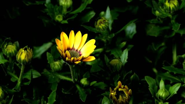 stockvideo's en b-roll-footage met afrikaanse daisy time-lapse - fresh start yellow