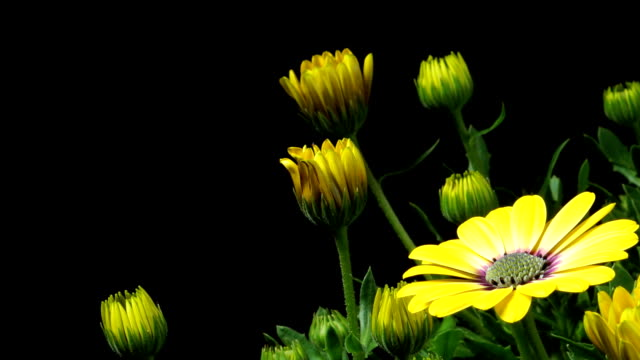African Daisy Time-lapse video