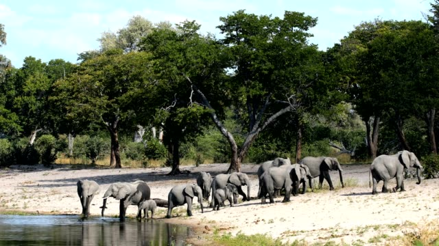 African elephant, Bwabwata Namibia, Africa safari wildlife herd of African elephant with babies, Loxodonta going to waterhole in Bwabwata, Caprivi strip game park, Namibia, Africa safari wildlife and wilderness waterhole stock videos & royalty-free footage