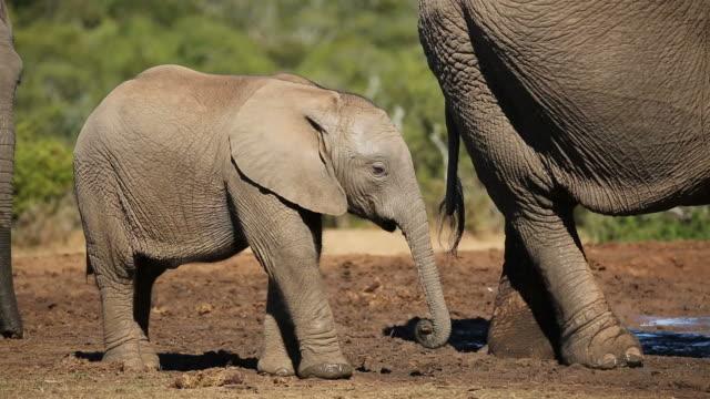 African elephant calf video