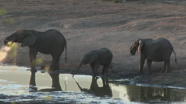 afrikanischer elefant (loxodonta africana) trinken zusammen - wasserloch stock-videos und b-roll-filmmaterial