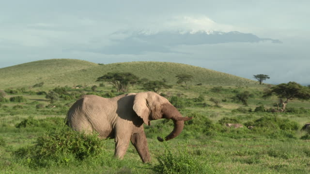 African Elephant (Loxodonta africana)  family  in grasslands