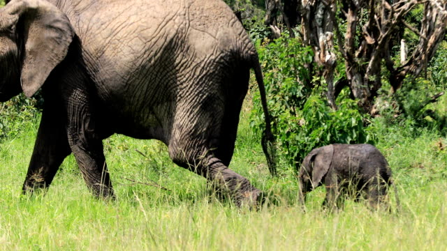 african elephant family - animale femmina video stock e b–roll