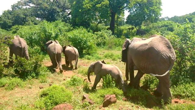 African elephant feeding himself in a bush