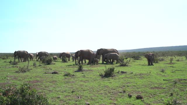 African elephant herd - 4K video