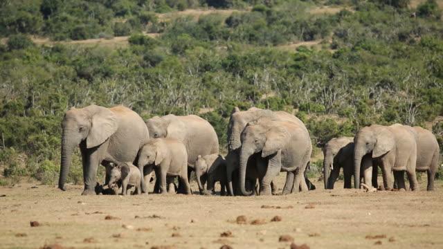 African elephant herd video