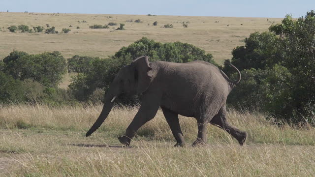 African Elephant, loxodonta africana, Adult running through savannah, Masai Mara Park in Kenya, slow motion
