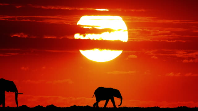 african elephant, loxodonta africana at sunset, masai mara park in kenya, real time 4k - sunset stock videos & royalty-free footage