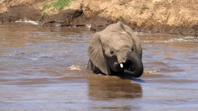 African Elephant, loxodonta africana, Calf crossing the Rivier, Masai Mara Park in Kenya, Real Time 4K video