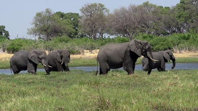 African Elephant, loxodonta africana, Group standing in Khwai River, Moremi Reserve, Okavango Delta in Botswana, Real Time