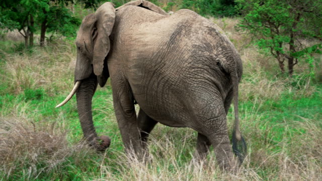 African elephant moving slowly and eating the grass video
