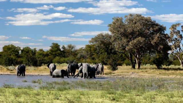 vidéos et rushes de éléphant africain sur le trou d'eau, faune de safari d'afrique - plan d'eau