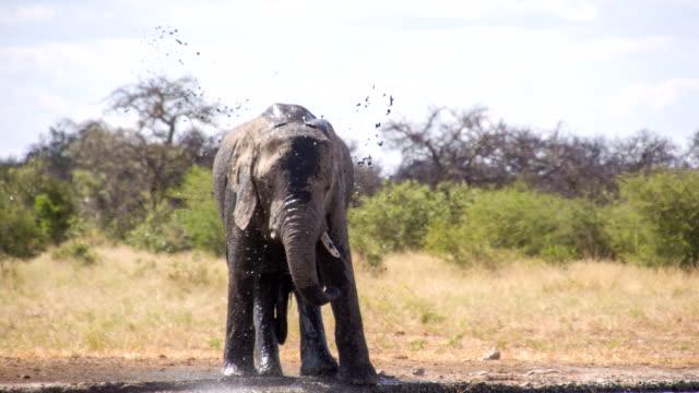 LS African Elephant Splashing Water video