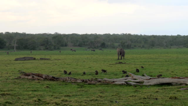 African Elephant Walks In The Rain On The Green Plain Where Grazing Animals video