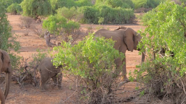 African Elephant With Baby Walking In The Bushes Of Samburu Reserve Kenya video