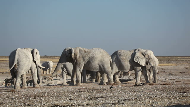 African elephants at waterhole African elephants (Loxodonta africana) gathering at a waterhole, Etosha National Park, Namibia waterhole stock videos & royalty-free footage
