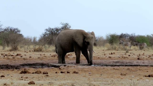 African elephants drinking at a muddy waterhole video