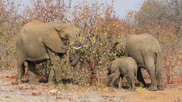 African elephants feeding, Kruger National Park video