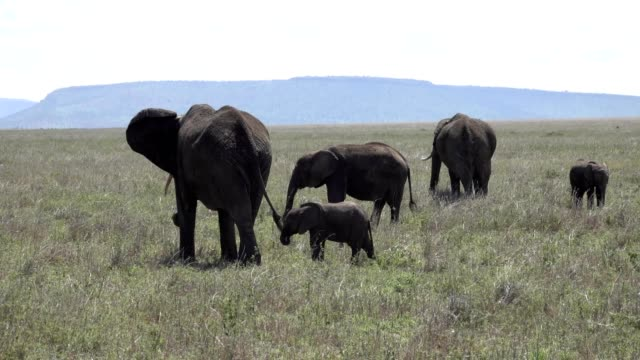 African Elephants Feeding with calves in Tanzania video