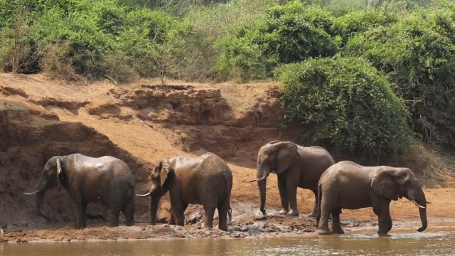 African elephants in a river