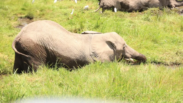 African Elephants in Marsh with Calf at Amboseli National Park
