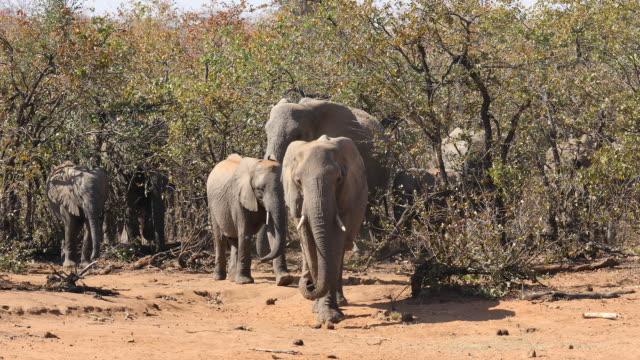 African elephants - Kruger National Park video