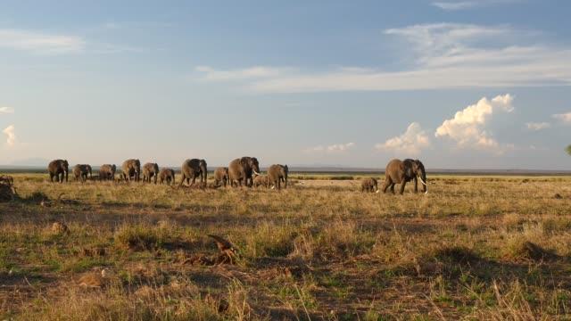 vídeos de stock e filmes b-roll de african elephants walking in line - quénia