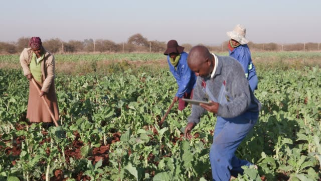 African farmer checking on kale crop with a digital tablet with woman ploughing in the background video
