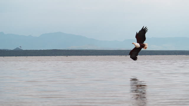 African Fish-Eagle, haliaeetus vocifer, Adult in flight, Fish in Claws, Fishing at Baringo Lake, Kenya , Slow motion 4K