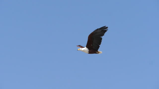 african fish-eagle, haliaeetus vocifer, adult in flight, flapping wings, baringo lake in kenya, slow motion - aquila video stock e b–roll